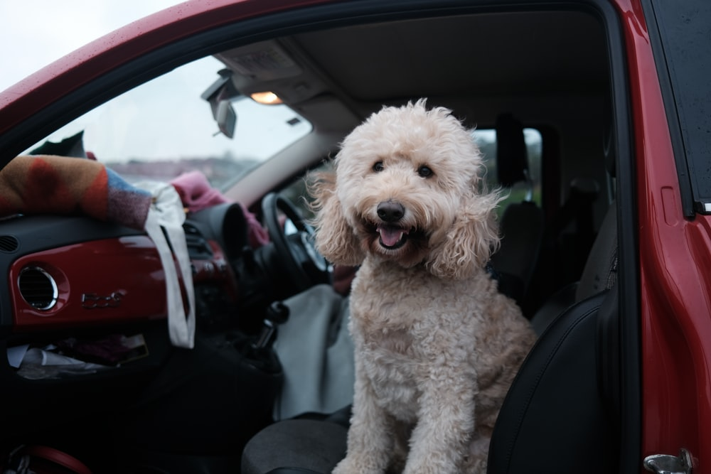 white poodle puppy on car seat