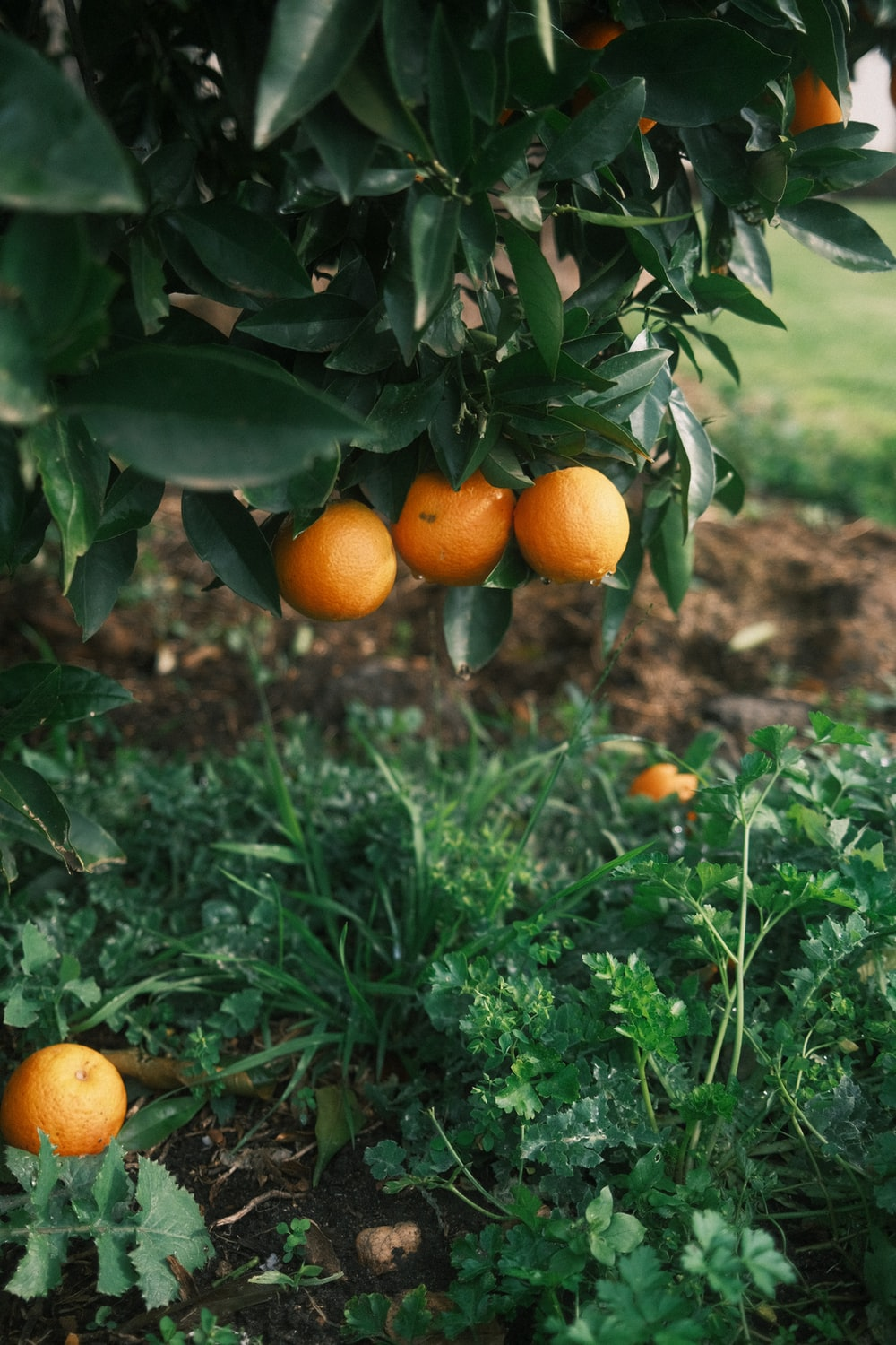 orange fruits on green grass during daytime