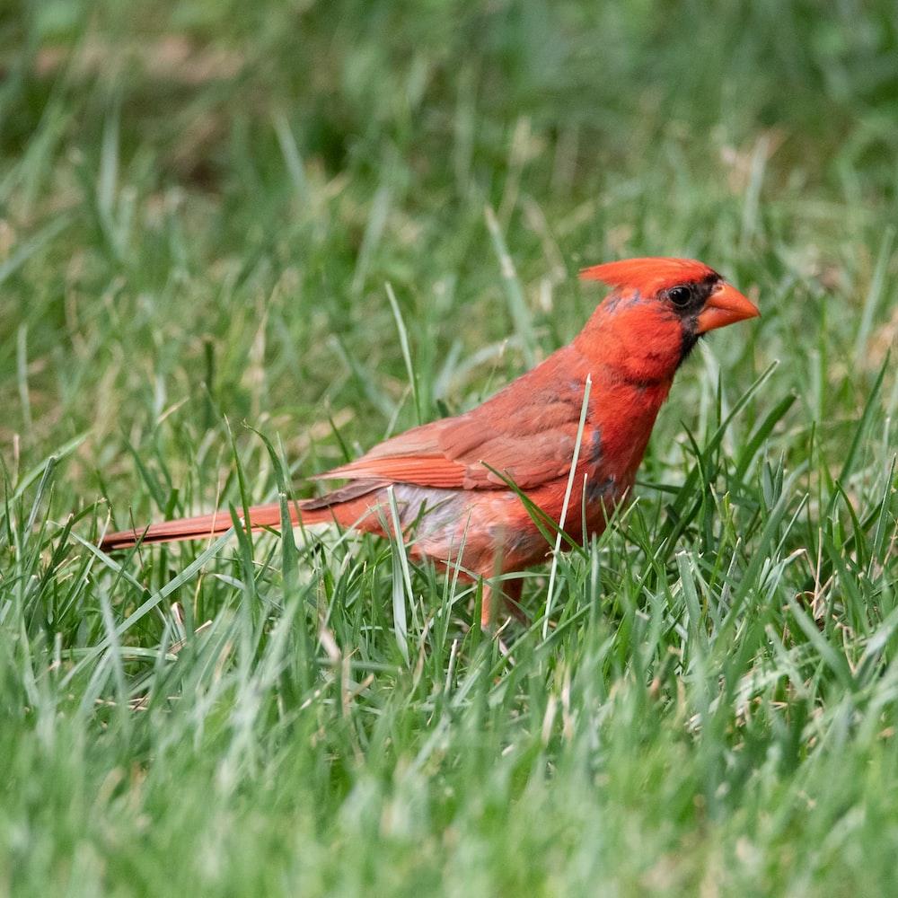 red cardinal bird on green grass during daytime