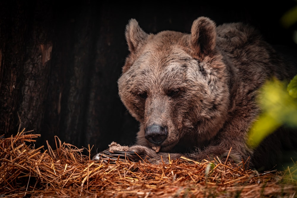 brown bear on brown dried grass