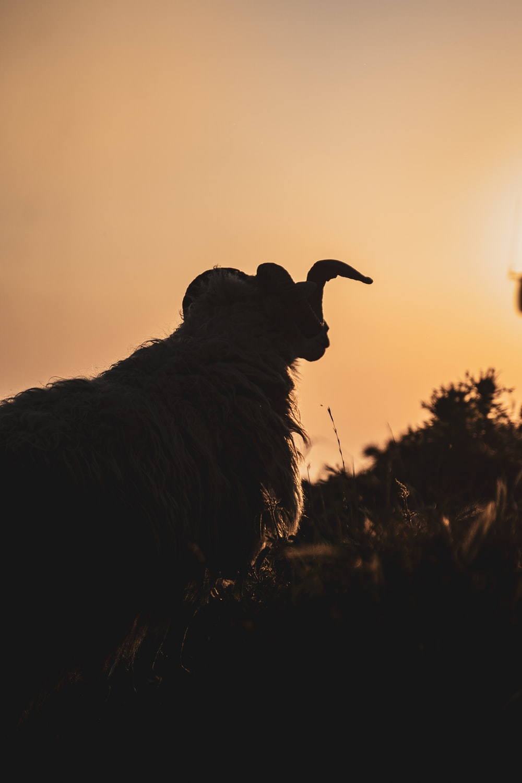 black ram on brown grass during daytime
