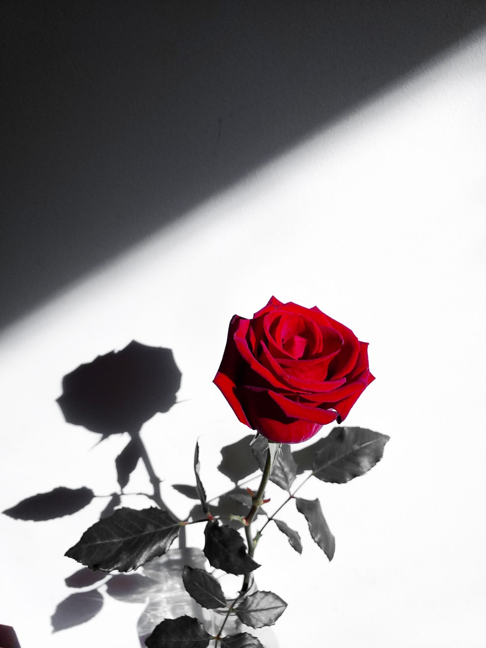 red rose in white background
