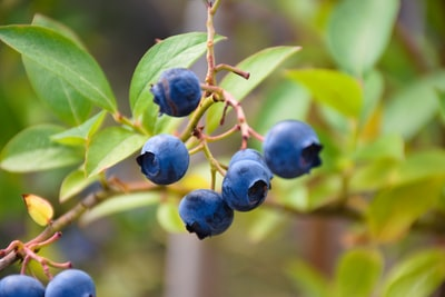 blue round fruit on green leaf blueberry zoom background