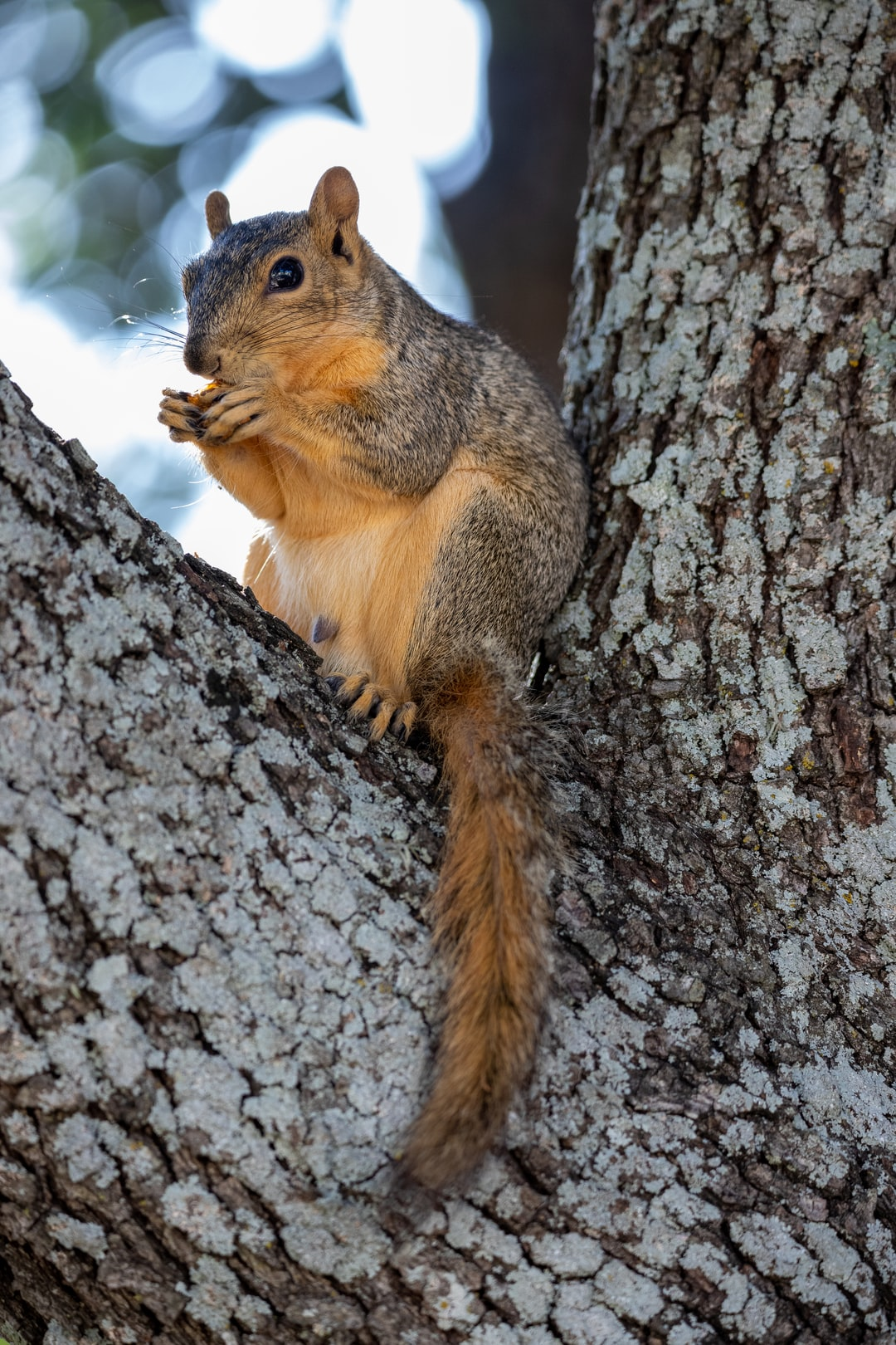 Squirrel eating a walnut while sitting in a tree