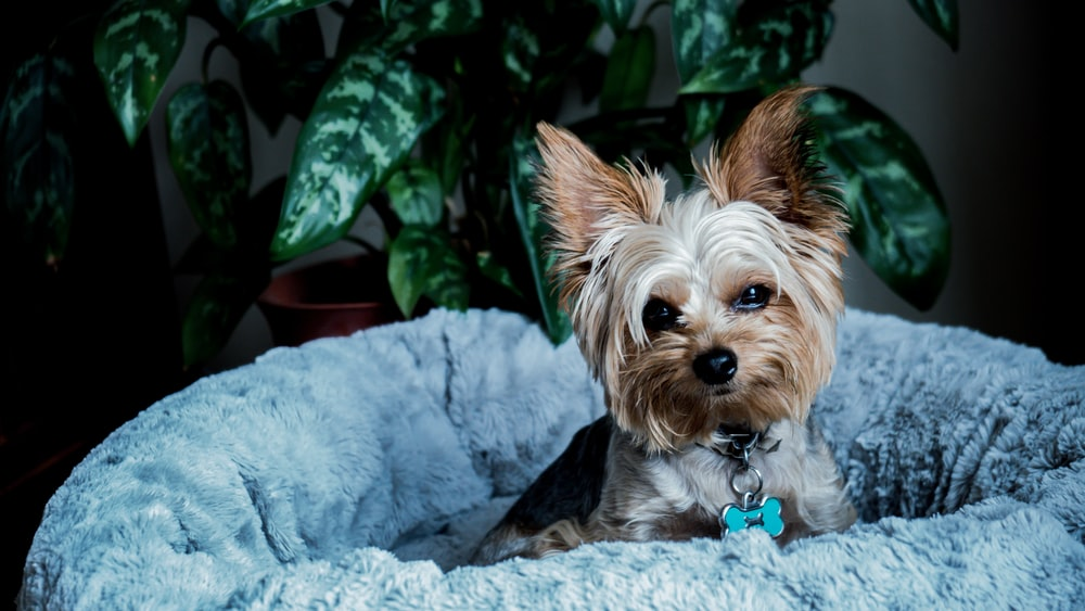 brown and black yorkshire terrier puppy on white textile