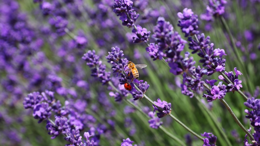 Bee and ladybug in lavender field