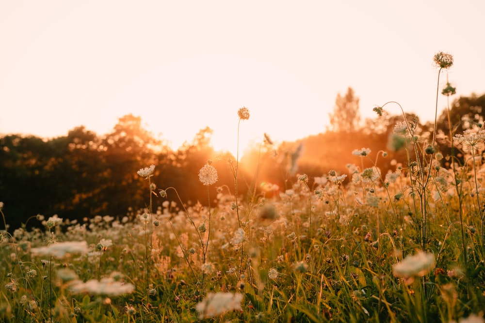 white flower field during sunset