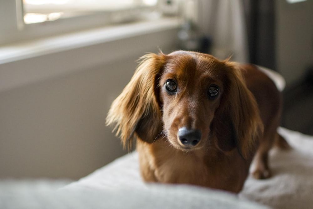 brown dachshund on white textile