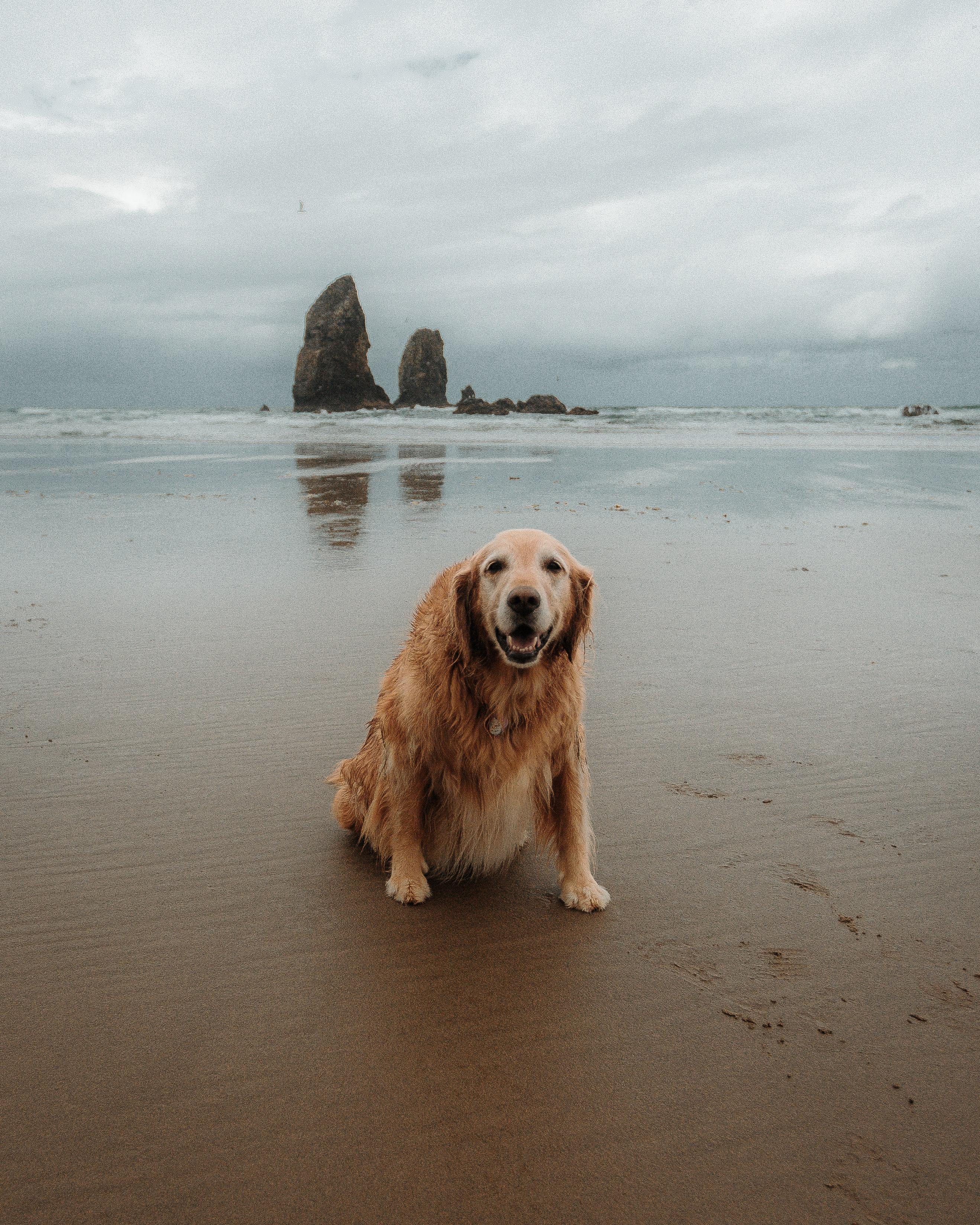 Golden Retriever Sitting On Beach Shore During Daytime Photo Free Dog Image On Unsplash