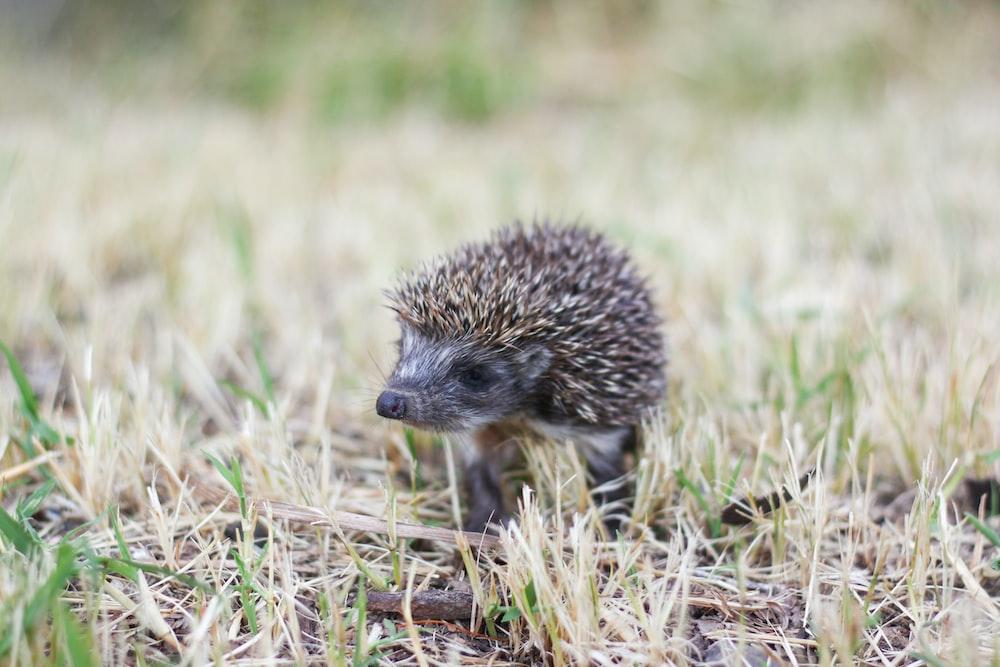 hedgehog on brown grass field during daytime