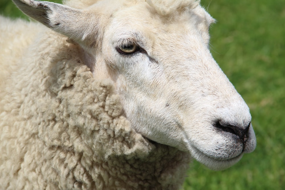 white sheep in close up photography
