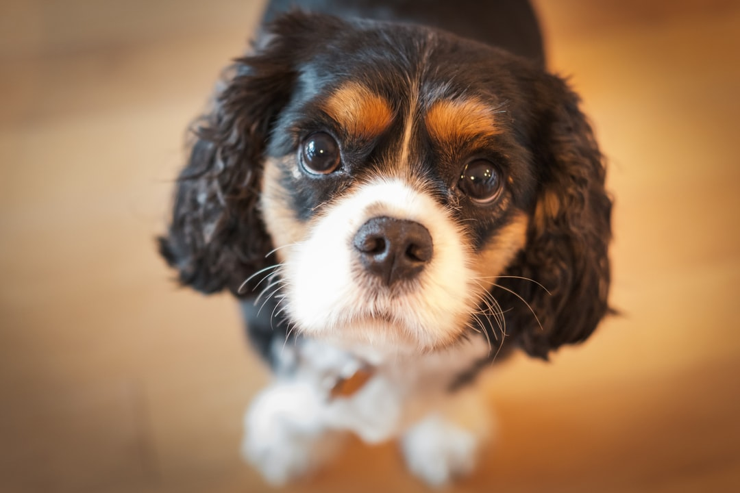 Cavalier King Charles Spaniel Looking Up and Begging Dog