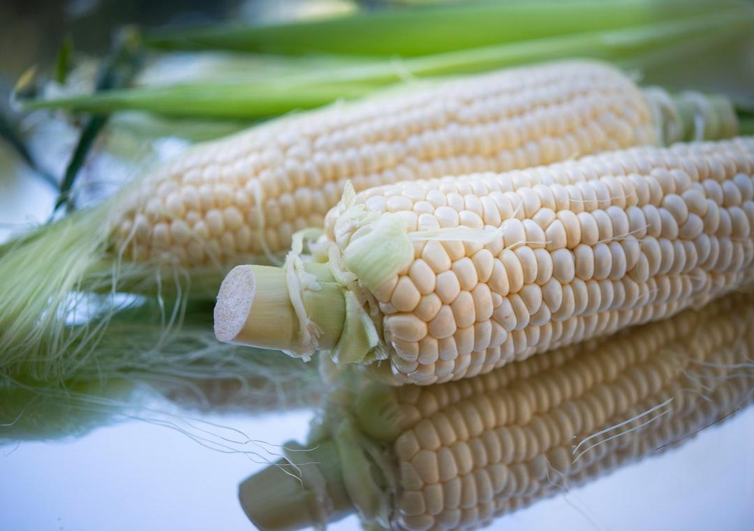Corn on the cob with husk shot close up.