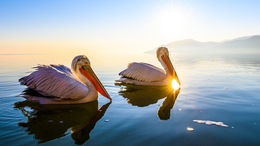 pelican on water during daytime