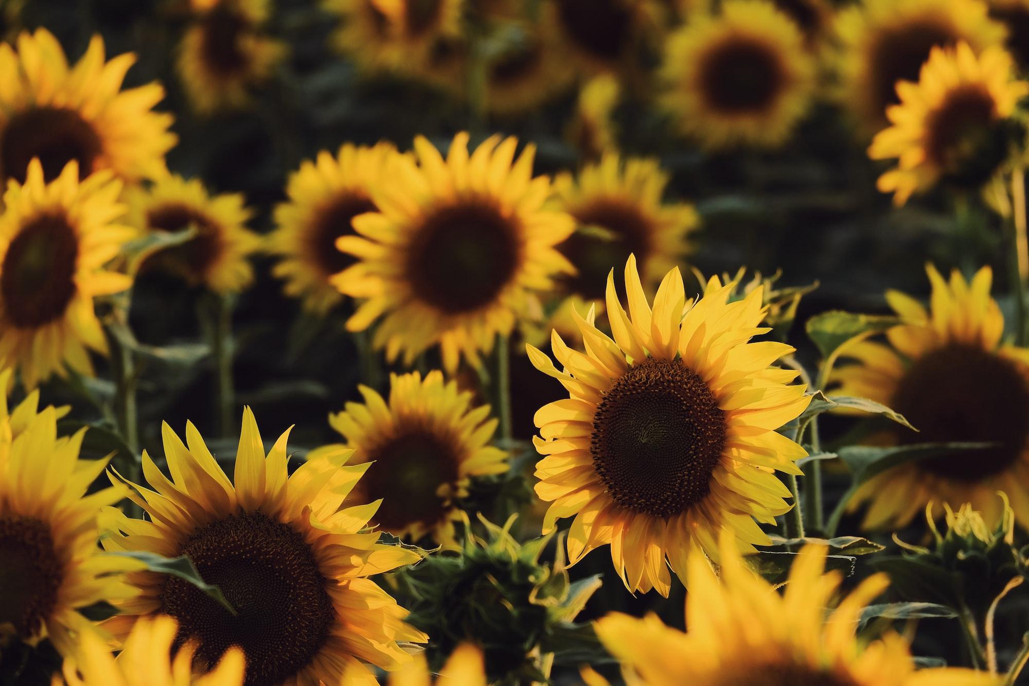 Sunflower series.