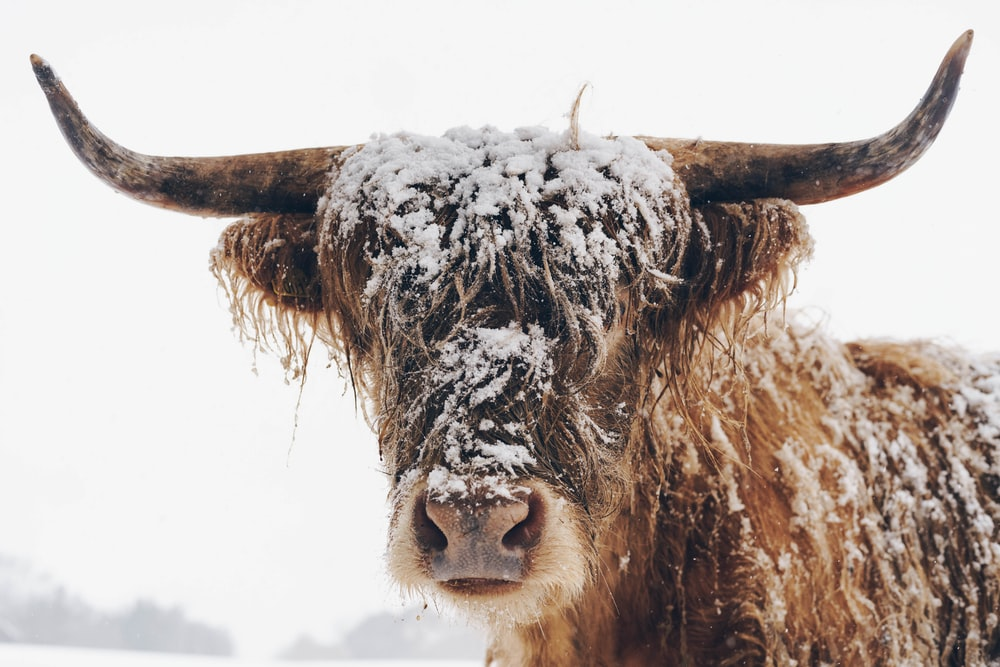 brown cow on snow covered ground