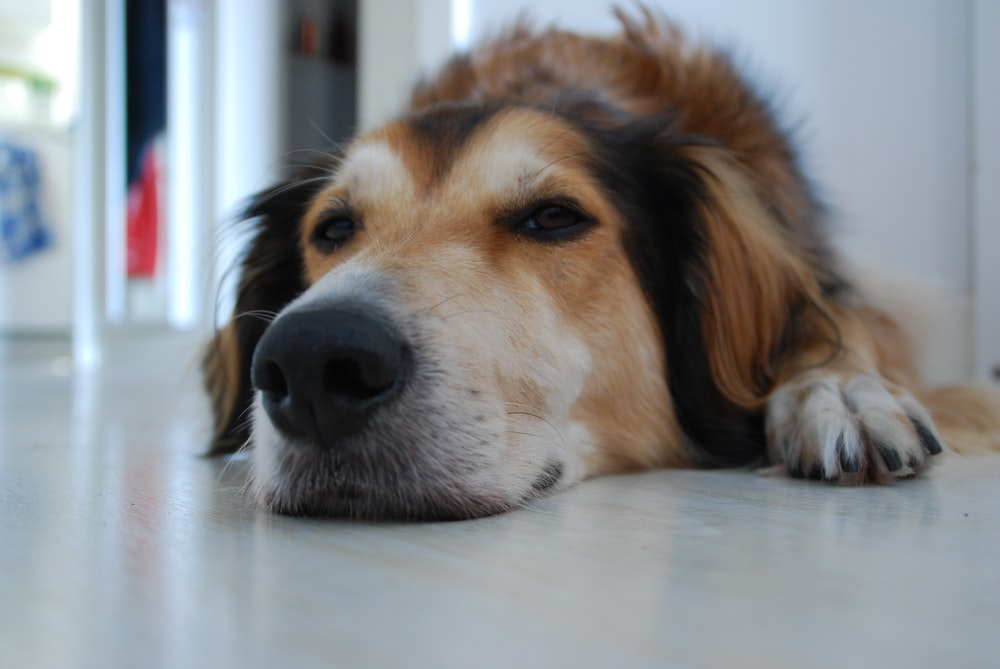 brown and white long coated dog lying on white floor