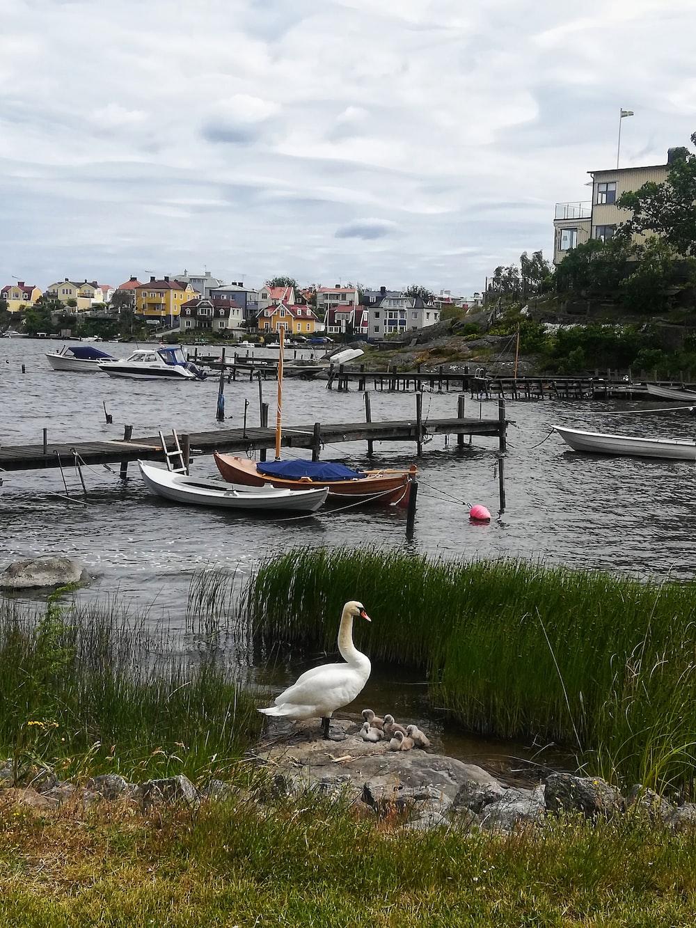 white swan on lake near green grass field during daytime