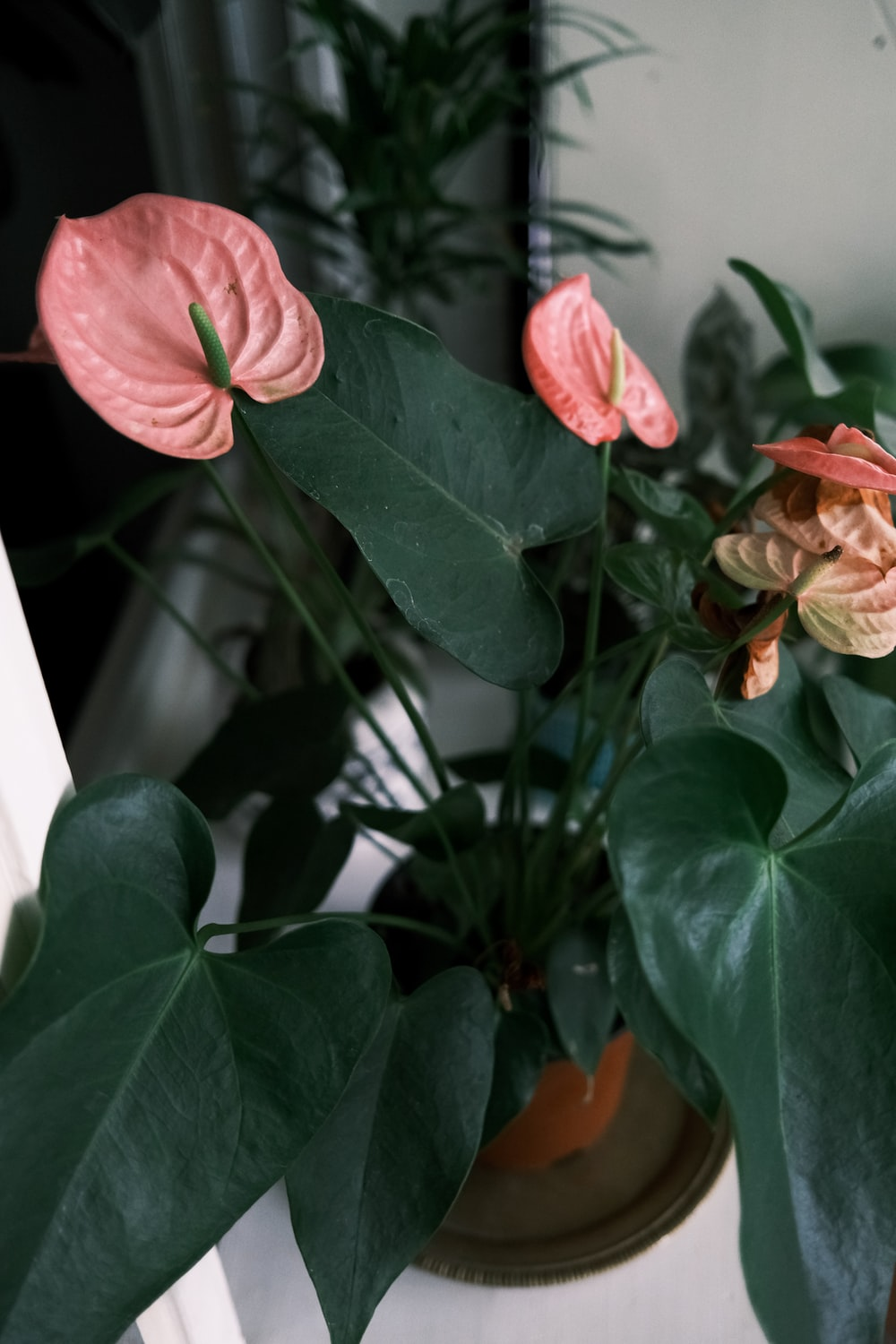 Pink Flower With Green Leaves Photo Free Anthurium Image On Unsplash