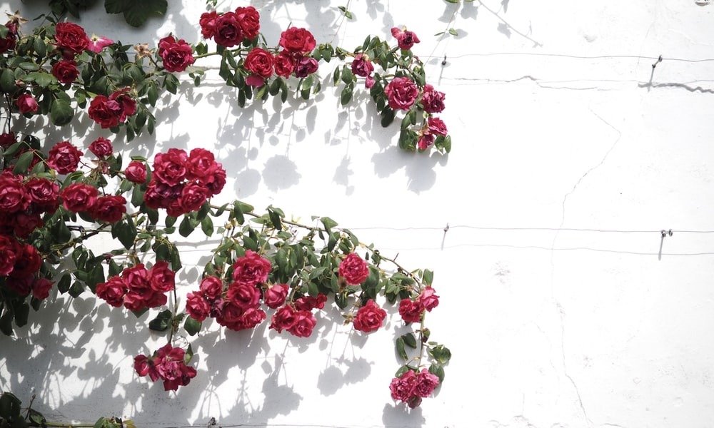 red and white flowers on white wall