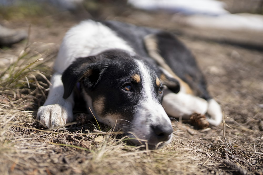 white black and brown short coated dog lying on brown grass field during daytime
