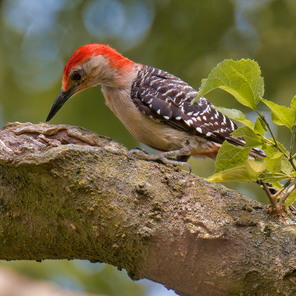red white and black bird on tree branch