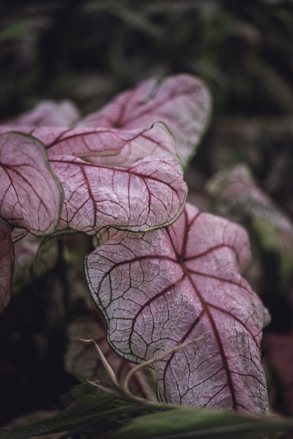 pink and white leaf plant