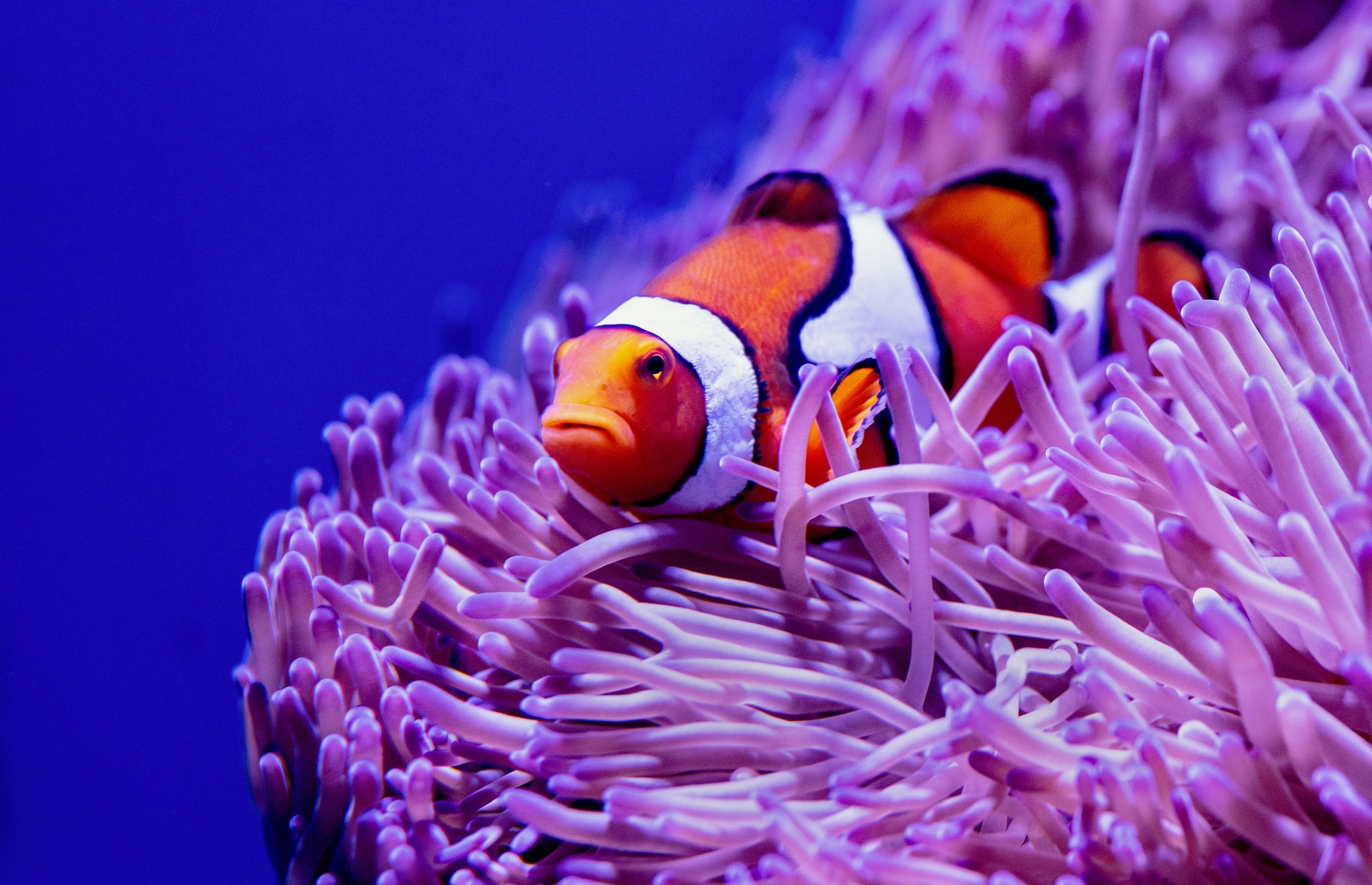 Portrait of a Clown Anemonefish at the Cairns Aquarium in Australia.