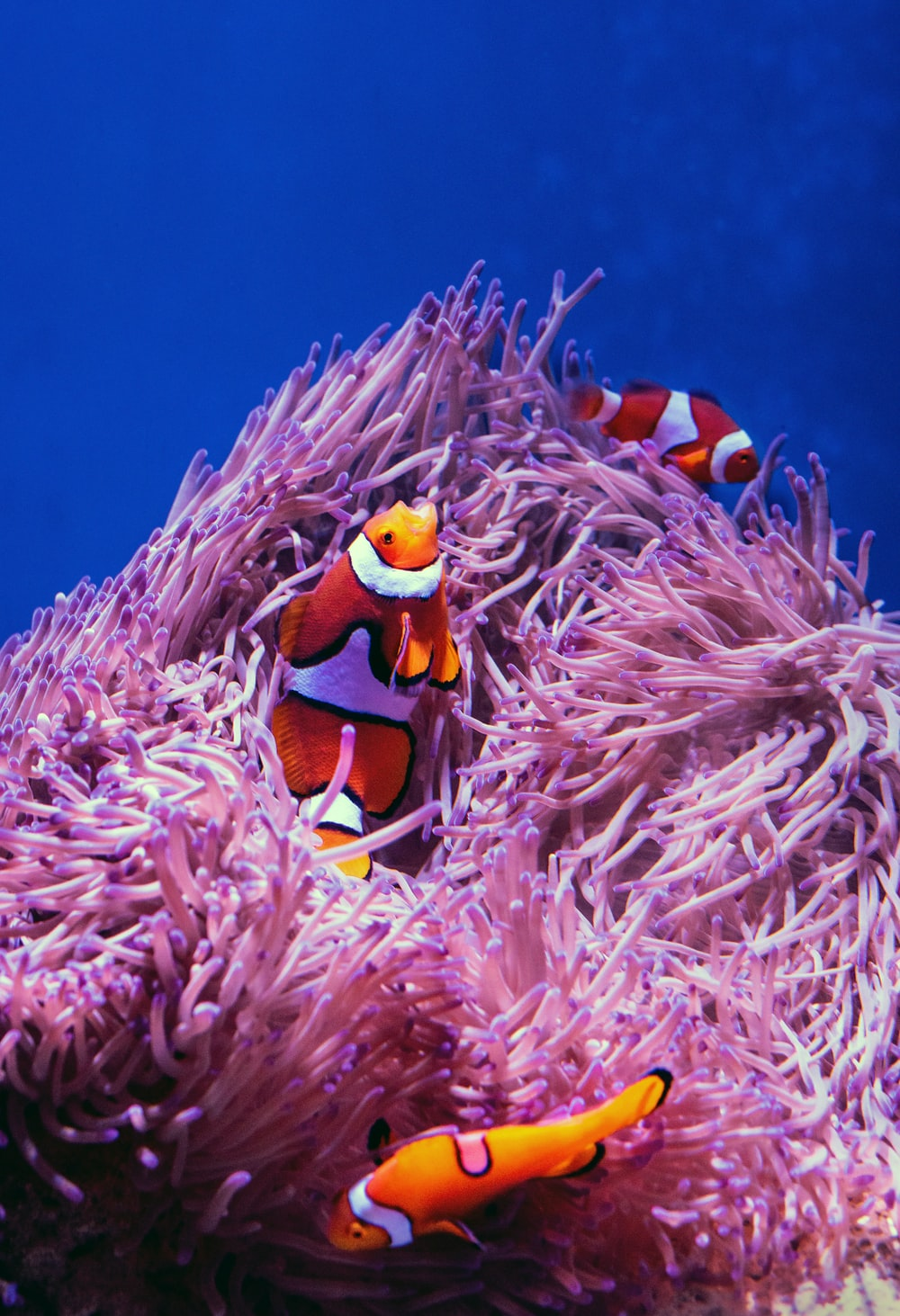 clown fish on pink coral reef