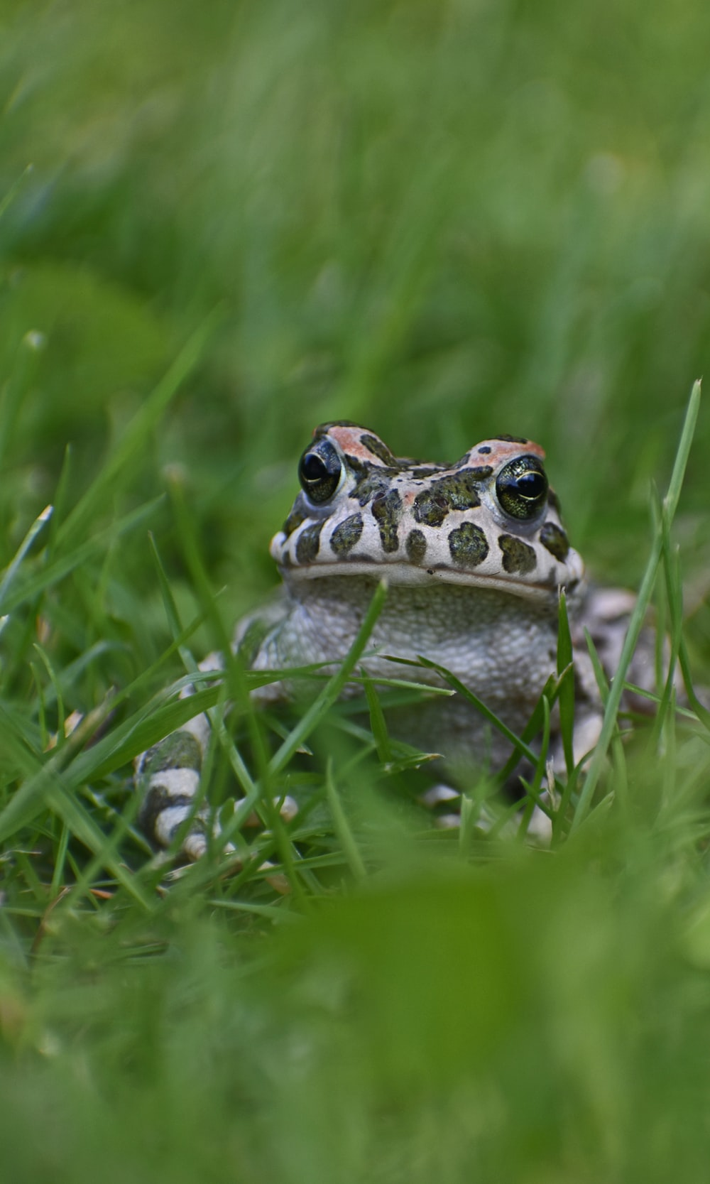 brown and white frog on green grass