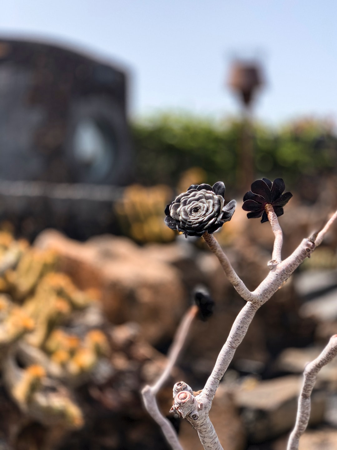 A cactus with a black flower.