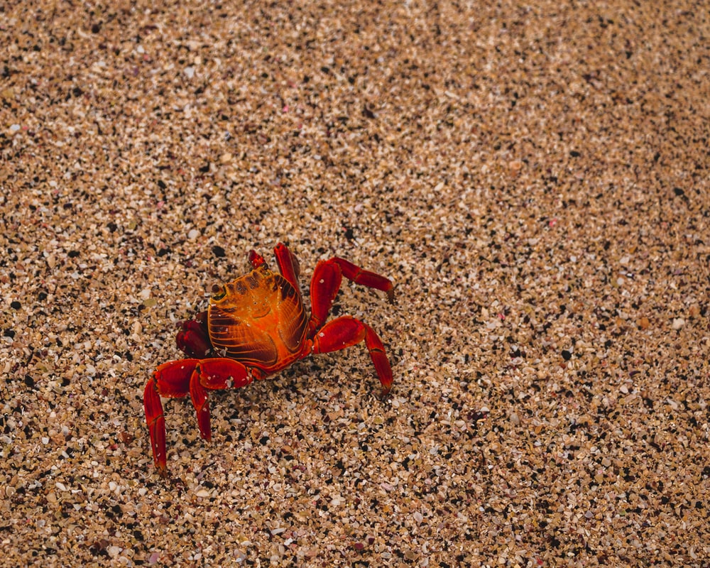 red crab on brown sand