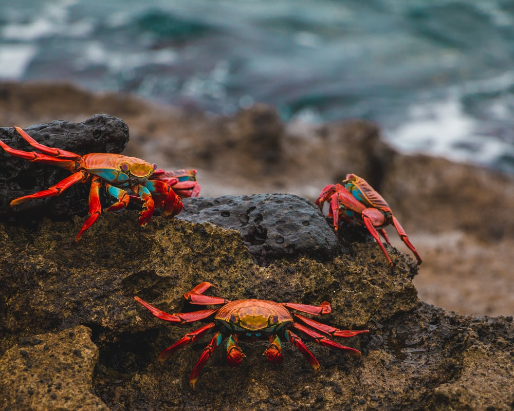 red and brown crab on black rock