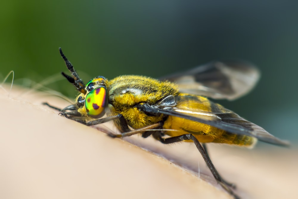 yellow and black insect in macro photography