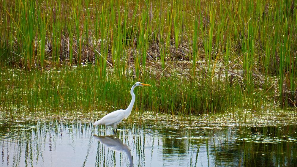 white bird on water near green grass during daytime