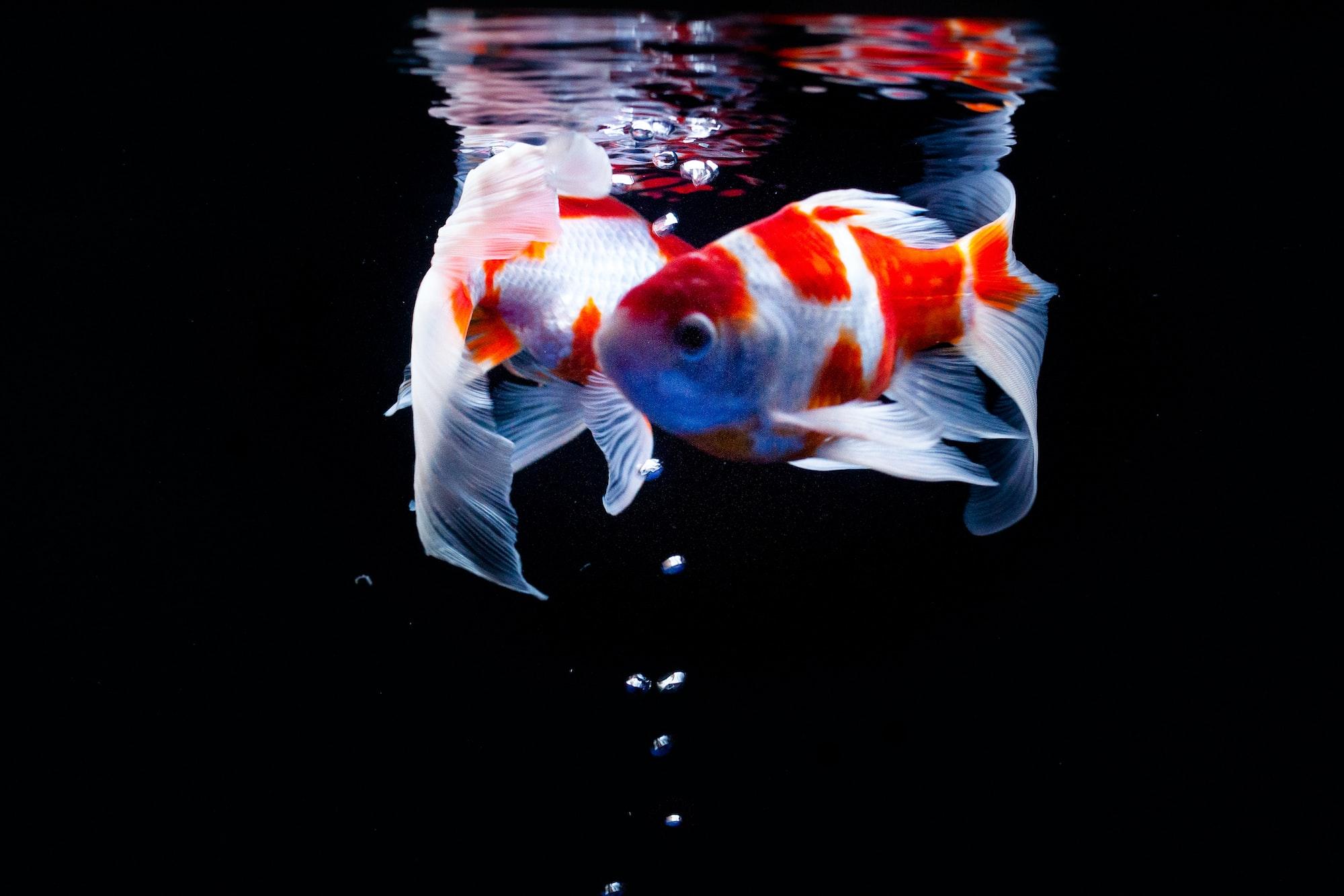 Cara Menghidupkan Ikan Mati
