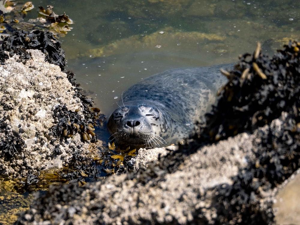 black seal on gray rock