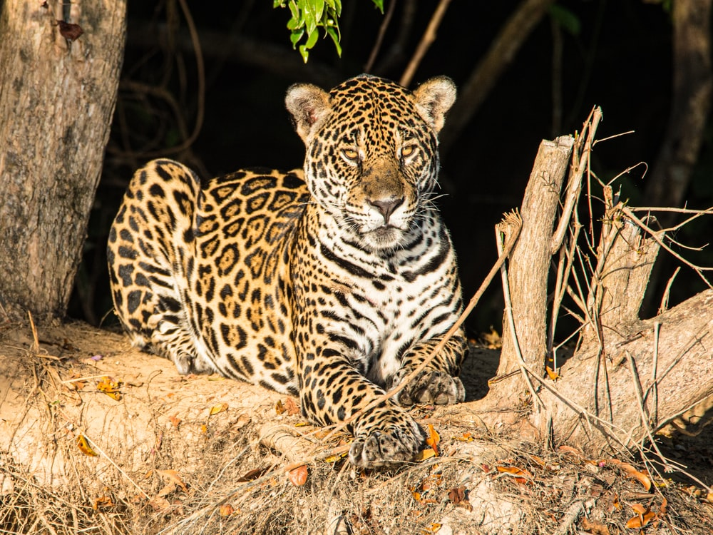 leopard lying on brown tree branch during daytime