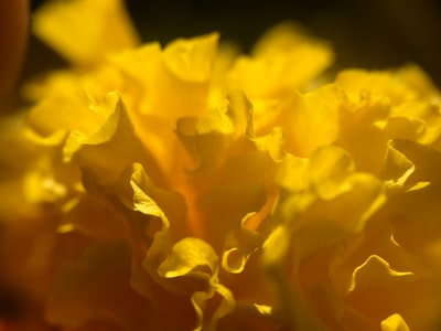 Bhayandar yellow flower in close up photography
