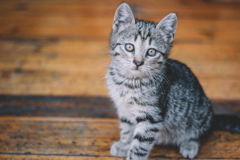 silver tabby cat on brown wooden floor