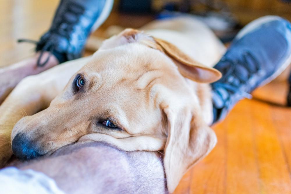 yellow labrador retriever lying on gray textile