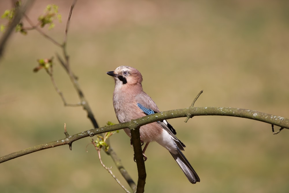 brown and blue bird on brown tree branch