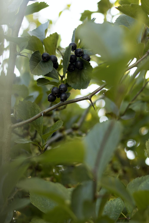black round fruits on tree branch during daytime