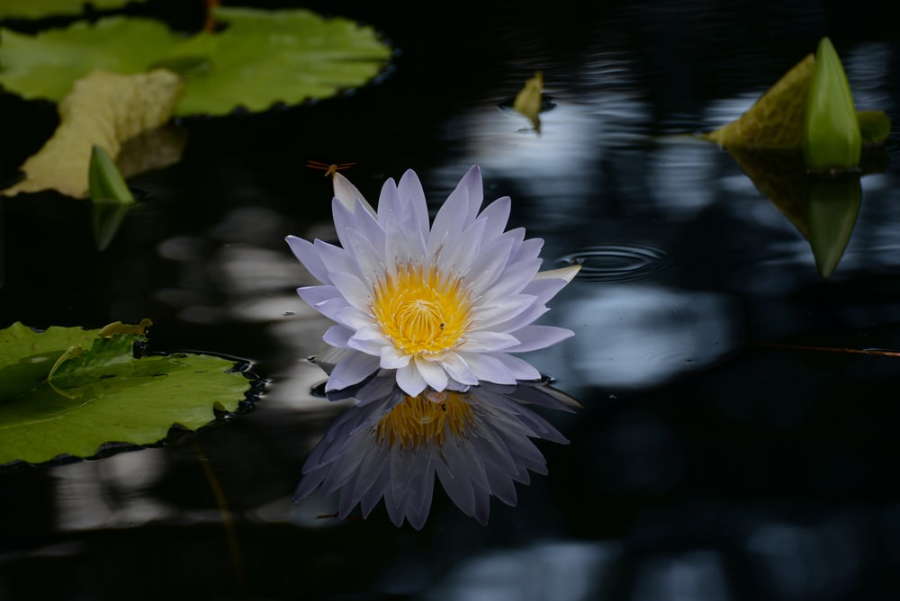 white and purple water lily in bloom