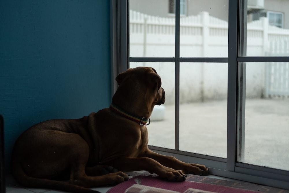 brown short coated medium sized dog sitting on brown wooden floor