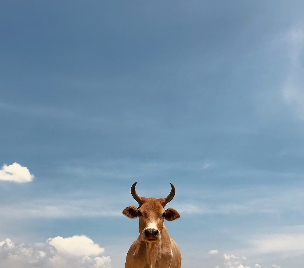 brown cow under blue sky during daytime