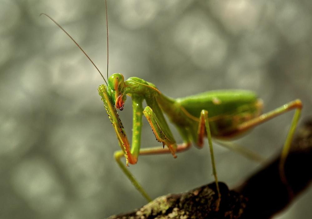 green praying mantis on gray surface