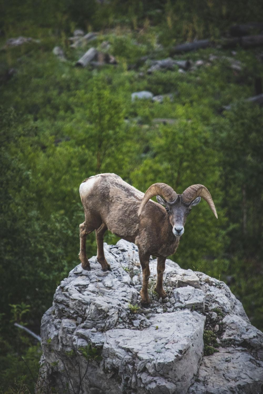 brown ram on gray rock during daytime