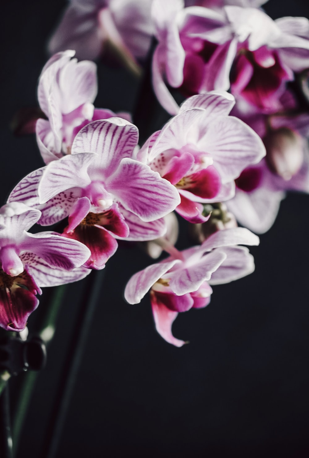 white and purple moth orchids in bloom close up photo