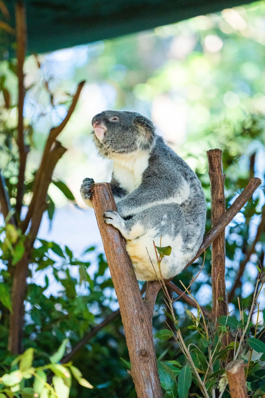 koala on brown tree branch during daytime